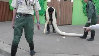 ビルマニシキヘビのふれあいタイム (東武動物公園) 2018年3月31日