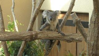 コアラ の『シャイン』 (神戸市立 王子動物園) 2019年9月15日