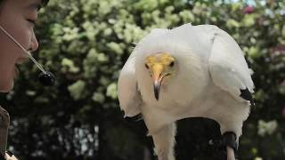 Egyptian vulture (KOBE ANIMAL KINGDOM, Hyogo, Japan) June 24, 2020