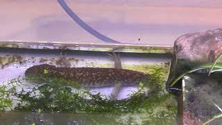 ウーパールーパーの上陸個体と水中個体 (市川市動植物園) 2018年3月4日