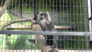 シシオザル (日本平動物園) 2017年12月10日