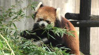 レッサーパンダ の『みい』と『ライム』 (千葉市動物公園) 2020年9月17日