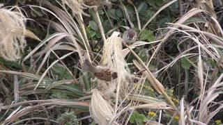 犬吠埼の野鳥たち (犬吠埼灯台) 2018年12月5日