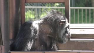 チンパンジー (熊本市動植物園) 2019年4月18日
