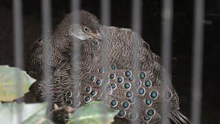 ハイイロコクジャク (智光山公園こども動物園) 2020年9月19日
