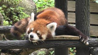 レッサーパンダ の『風太』 (千葉市動物公園) 2020年9月17日