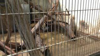 アカハナグマ (宇都宮動物園) 2018年4月30日