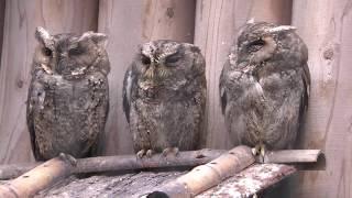 Sunda Scops-owl (Inokashira Park Zoo, Tokyo, Japan) September 23, 2017
