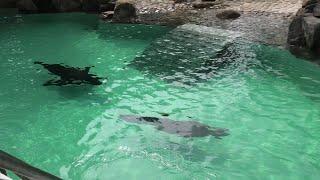 カリフォルニアアシカ (千葉市動物公園) 2020年9月17日