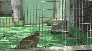Common Squirrel Monkey (Okinawa Zoo & Museum, Okinawa, Japan) May 13, 2019