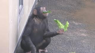 チンパンジー (日立市かみね動物園) 2018年12月4日