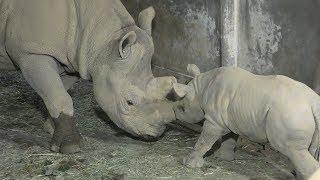 ヒガシクロサイ の赤ちゃん『ラン』屋内展示の様子 (仙台市八木山動物公園) 2019年4月13日