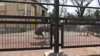 ダチョウのメスの求愛行動 (羽村市動物公園) 2018年4月8日