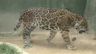 ジャガー の『卯月 小助』 (日本平動物園) 2018年8月5日