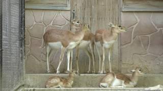 ブラックバック (広島市安佐動物公園) 2018年5月20日