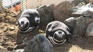 マゼランペンギン (うみたま体験パーク・つくみイルカ島) 2019年12月8日