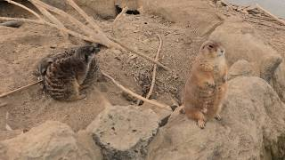プレーリードッグ と ミーアキャット (阿蘇ファームランド ふれあい動物王国) 2019年12月7日