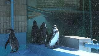 フンボルトペンギン (神戸市立 王子動物園) 2019年9月15日
