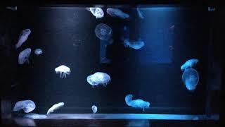 ミズクラゲ水槽 (京都水族館) 2017年11月5日