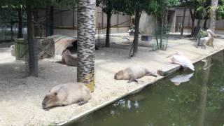 暑さでぐったりしているカピバラたち (東武動物公園) 2017年6月11日