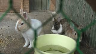 ウサギ と ウコッケイ (芦野公園 児童動物園) 2019年8月7日