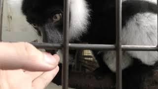 エリマキキツネザル の『チェイミー』 (草津熱帯圏) 2018年11月11日