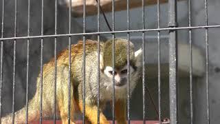 コモンリスザル (福山市立動物園) 2019年2月25日
