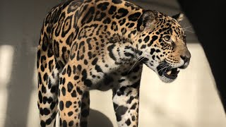 Jaguar (TOBE ZOOLOGICAL PARK OF EHIME PREF., Ehime, Japan) December 25, 2019