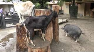 仲良しなヤギとブタ (井の頭自然文化園) 2017年9月23日