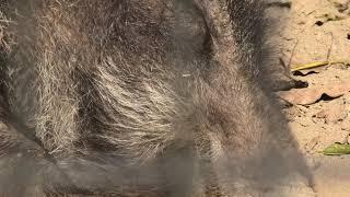 ニホンイノシシ (宮崎市フェニックス自然動物園) 2019年12月9日