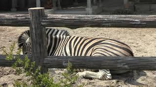 チャップマンシマウマ (東山動植物園) 2019年4月2日