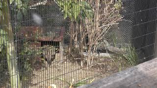 ニホンキジ (京都市動物園) 2019年1月26日