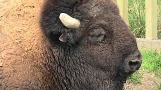 American bison (TOBU ZOO, Saitama, Japan) September 18, 2020