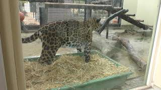 ジャガー の『アサヒ』 (京都市動物園) 2019年1月26日