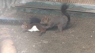 Hokkaido Squirre (Hakodate Park, Hokkaido, Japan) August 9, 2019