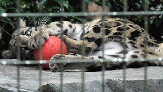 Clouded leopard (Yokohama Zoological Gardens [ZOORASIA], Kanagawa, Japan) September 16, 2020