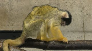 Black-capped Squirrel Monkey (Akita city Omoriyama zoo, Akita, Japan) April 11, 2019