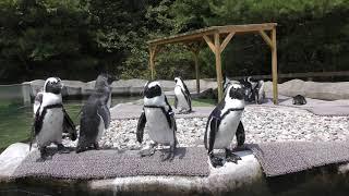 ケープペンギン (那須どうぶつ王国) 2019年8月2日