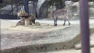 ヒマラヤタール (多摩動物公園) 2017年8月27日