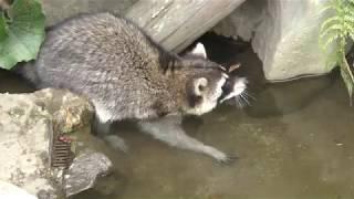 アライグマ (平川動物公園) 2018年7月29日