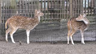 雨の日のアクシスジカ (東武動物公園) 2017年10月15日