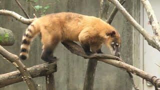 アカハナグマ の『ミミ』 (千葉市動物公園) 2020年9月17日