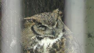 Great Horned Owl (Obihiro Zoo, Hokkaido, Japan) July 6, 2019