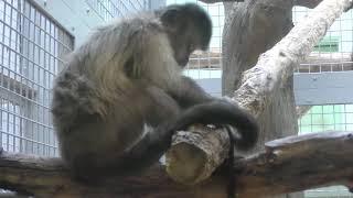 Capuchin monkey (Sapporo Maruyama Zoo, Hokkaido, Japan) February 12, 2018