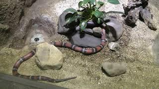 ミルクヘビ (京都市動物園) 2019年1月26日