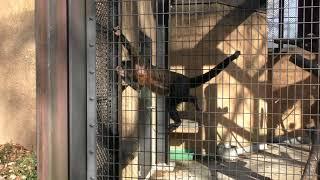 フサオマキザル (野毛山動物園) 2017年12月16日