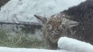 Hokkaido Sika Deer (Sapporo Maruyama Zoo, Hokkaido, Japan) February 12, 2018