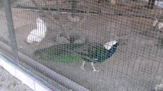 鳥類コーナー (五桂池ふるさと村・花と動物ふれあい広場) 2018年1月3日