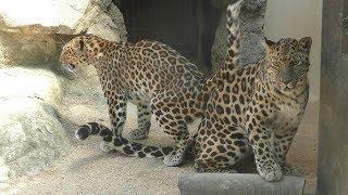 アムールヒョウ の『アニュイ』と『セイラ』 (神戸市立 王子動物園) 2019年5月24日