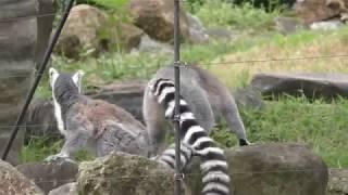 ワオキツネザル (上野動物園) 2018年7月7日